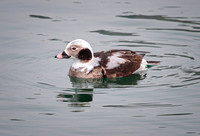 Long-tailed Duck - Immature Male